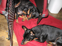 Min Pin male for sale.