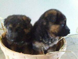 They're ready! Adorable Germen Shephard puppies