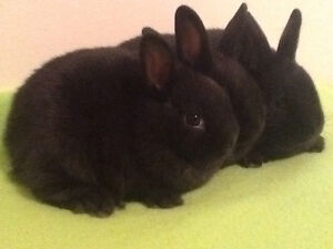 Dwarf Baby Bunnies for sale **ONLY 3 LEFT**