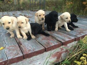 Labradors noirs et blonds pure race et enregistrés