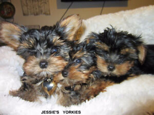 """ONLY  """" TWO""""  ADORABLE YORKIE BOY PUPPIES   LEFT  !!!!!!"""