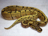 PYTHON ROYAL/BALL PYTHON HONEYBEE (SPIDER X ORANGE GHOST HYPO)