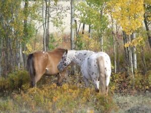 Some one to feed and look after Appaloosa mares on shares