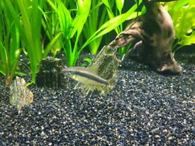 Siamese Flying Fox algae eater fish