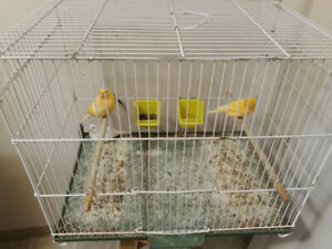Pet baby Birds  with cage!!!!!!