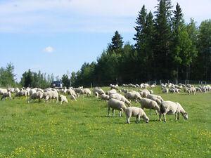 Rideau Ram Lambs