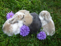 Four adorable Holland lop Bunnies