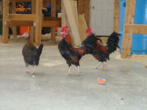 Miniature Bantam Chickens