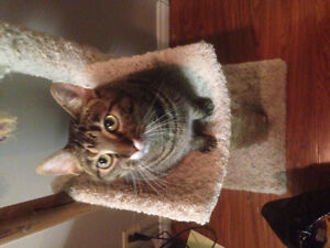 2 Sister Tabby Cats for Rehoming