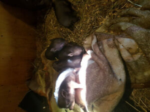 Pot bellied pigs for sale 5 weeks old very friendly, mom and dad