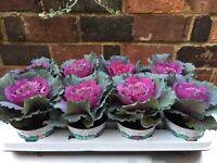 Brassica (cabbage) plant