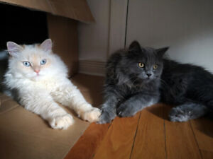 Teenage Purebred Persian Kittens