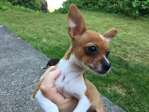 2 Teacup Female Chihuahua Puppies