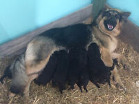 11 German Shepherd Puppies for sale *Parents on site*