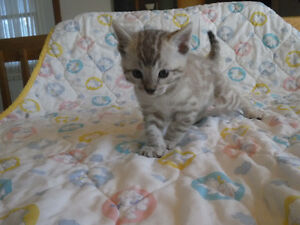 High quality snow and brown Bengal kittens - chatons