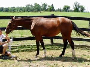2017 Dutch Warmblood Horse for Sale