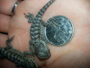 Baby bearded dragons new price