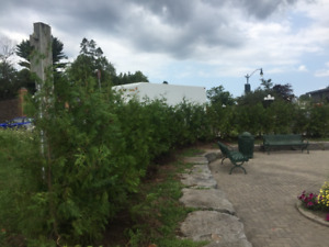 20%OFF SWAMP CEDAR TREES 4 FEET TO 12 FEET TALLFOR PRIVACY HEDGE