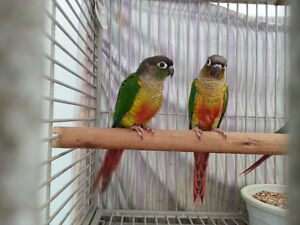 Hand raised super friendly YELLOW SIDED/PINEAPPLE CONURE BABIES