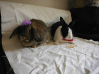 fixed Male dutch rabbit and his wife a holland lop