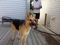 German Shephard looking for new companion