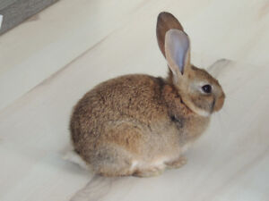 Litter Trained 2 month old Bunny