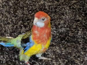 Baby Eastern Rosella for sale