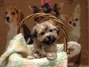 Very beautiful playful Havanese MALE puppy