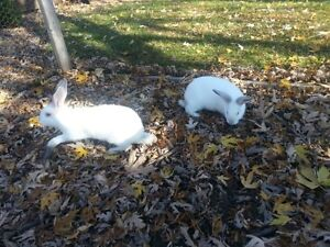 Bunnies / Rabbits for sale