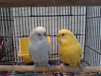 Tamed Budgies and Cages