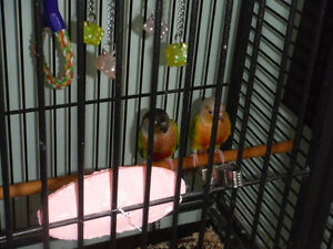 2 couples de Conure à joue verte (Fin d'élevage)