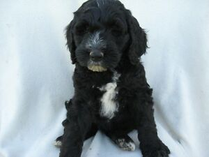 BERNEDOODLE PUPS READY FOR A NEW HOME Kitchener / Waterloo Kitchener Area image 3