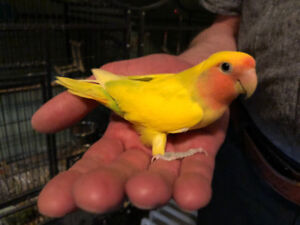 Super Tame Lovebird and Large Cage