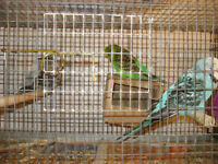 3 English budgies will TRADE  or  SALE