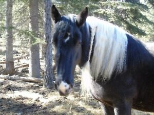 GYPSY VANNER Mare ~~~ 3 for 1 deal $$$$$$