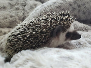 Bebe herisson de 6 semaine  / Hedgehog of 6 weeks old