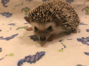Sweetest baby home raised Minature Hedgehogs!