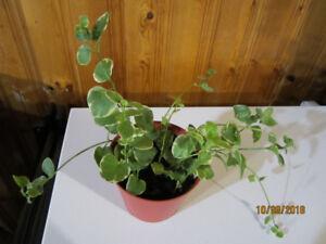 Vinca Vine - Hanging Plant