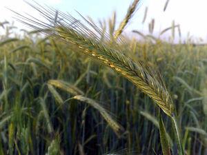 Rye Grain - Bulk/Bagged