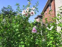 ROSE OF SHARON TREES ,BLACK EYE SUSAN , STRAWBERRY CLAY POTS