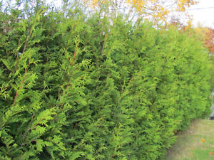 ***FALL SPECIAL ON NOW !!!!!*** Eastern white cedar trees !!! Peterborough Peterborough Area image 6