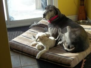 Great Dane looking to be rehomed