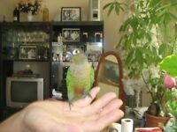 beautiful Tame green cheek conure for sale