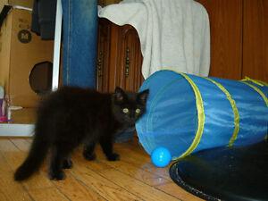Fuzzy, A Black Kitty for Adoption! Kawartha Lakes Peterborough Area image 2