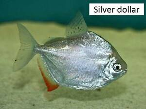 Silver dollar fish tropical freshwater aquarium fish silverdollar Gawler East Gawler Area Preview