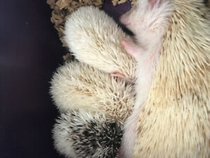 Baby Hedgehogs Available soon