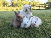 Baby bunnies - Lionhead - ready to go THIS WEEKEND!