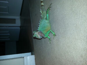 Chinese Water Dragon (male) For Trade or Sale