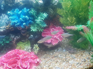 FREE - Red & Blue tetra fish