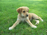 Cross breed puppies for sale